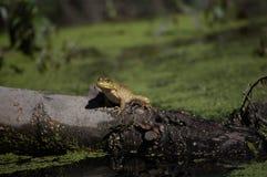 Лягушка на журнале стоковые фотографии rf
