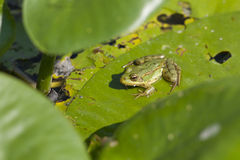 Лягушка на зеленые камышницы Стоковые Изображения