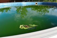 Лягушка на зеленых лист в конце бассейна вверх Лягушка зеленеет взгляд со стороны в солнечном дне стоковые изображения