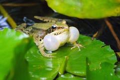 Лягушка на лист лотоса Стоковое Изображение RF
