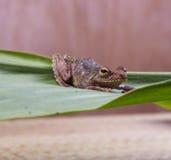 Лягушка на лист Стоковое фото RF