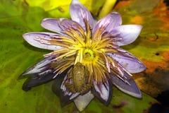 Лягушка на лилии воды Стоковое фото RF