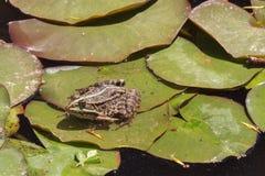 Лягушка на лист лилии воды Стоковые Изображения
