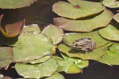 Лягушка на лист лилии воды Стоковое фото RF