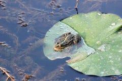 Лягушка на лист лотоса Стоковое фото RF