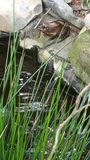 Лягушка над прудом Стоковое Изображение RF