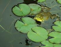 Лягушка на пусковой площадке лилии Стоковое Изображение