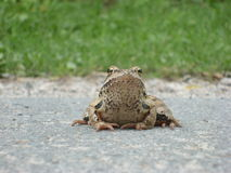 Лягушка на пути Стоковые Фотографии RF