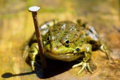 Лягушка на древесине Стоковое Фото