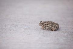 Лягушка на тротуаре Стоковые Изображения RF