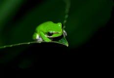 лягушка немногая Стоковая Фотография