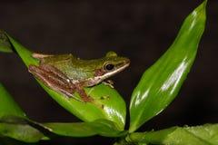 Лягушка ночи на лист Стоковые Фото