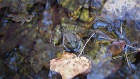 Лягушка обдумывая листья стоковое фото rf