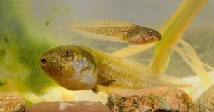 Лягушка общее fuscus Spadefoot - Pelobates Стоковые Фото