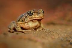 Лягушка общее fuscus Spadefoot - Pelobates Стоковое фото RF