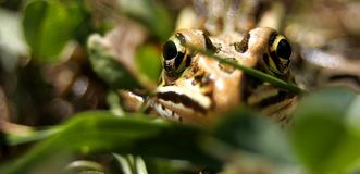 лягушка одичалая Стоковые Изображения RF