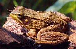 Лягушка отдыхая на журнале Стоковое Фото