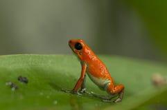 Лягушка отравы клубники Стоковая Фотография RF