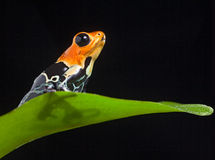 Лягушка отравы Стоковые Фото