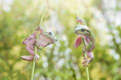 Лягушка поединка стоковые изображения