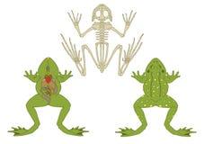 Лягушка, поперечное сечение и скелет иллюстрация штока