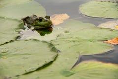 Лягушка пряча в lilypads Стоковая Фотография RF