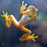 Лягушка редкого тропического жителя Панамы золотая стоковая фотография rf