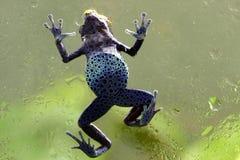 Лягушка дротика отравы кобальта Dendrobates Суринама Стоковые Фото