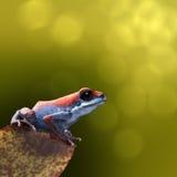 Лягушка дротика отравы клубники Стоковые Фото