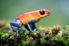 Лягушка дротика отравы клубники Стоковая Фотография