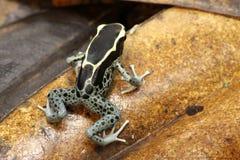 Лягушка дротика отравы Dendrobates идя на лист магнолии Стоковые Фотографии RF