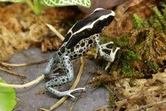 Лягушка дротика отравы Dendrobates идя на камень и мох Стоковое фото RF