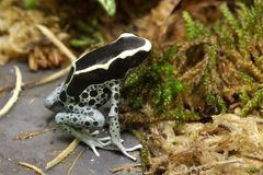 Лягушка дротика отравы Dendrobates Стоковое Изображение