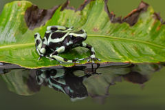 Лягушка дротика отравы (Dendrobates Auratus) Стоковые Фотографии RF
