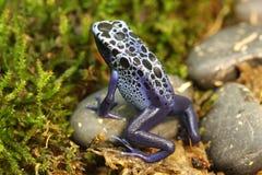 Лягушка дротика отравы Dendrobates Azureus идя на мох Стоковая Фотография