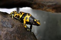 Лягушка дротика отравы Dendrobates Leucomelas Стоковая Фотография