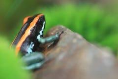 Лягушка дротика отравы Golfodulcean Стоковая Фотография RF