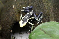 Лягушка дротика отравы Olie Мари Dendrobates Стоковые Изображения