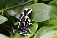 Лягушка дротика отравы Olie Мари Dendrobates Стоковые Изображения RF