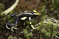 Лягушка дротика отравы Olie Мари Dendrobates Стоковая Фотография