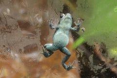Лягушка дротика отравы Pumilio взбираясь на стекле Стоковое Изображение RF