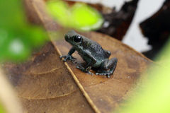 Лягушка дротика отравы Pumilio идя на лист магнолии Стоковые Изображения RF