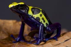 Лягушка дротика/tinctorius Dendrobates Стоковое фото RF