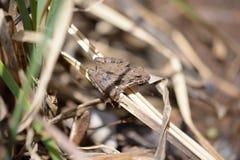 Лягушка сверчка на траве Стоковое Изображение RF