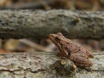 Лягушка северного сверчка Стоковые Изображения