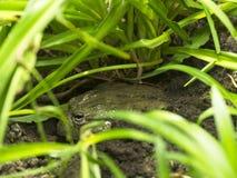 Лягушка сидя на том основании и пряча в траве стоковые изображения