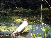 Лягушка сидит на ветви в пруде, греясь в солнце Стоковое Изображение RF