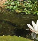 Лягушка сидя в пруде Стоковое Изображение RF