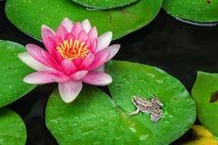 Лягушка смотрит лилию стоковые фотографии rf