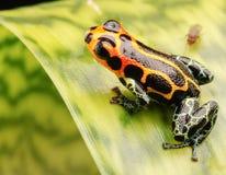 Лягушка стрелки отравы макроса Стоковая Фотография RF